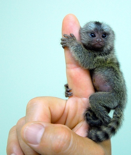 Gallery For gt Baby Marmoset