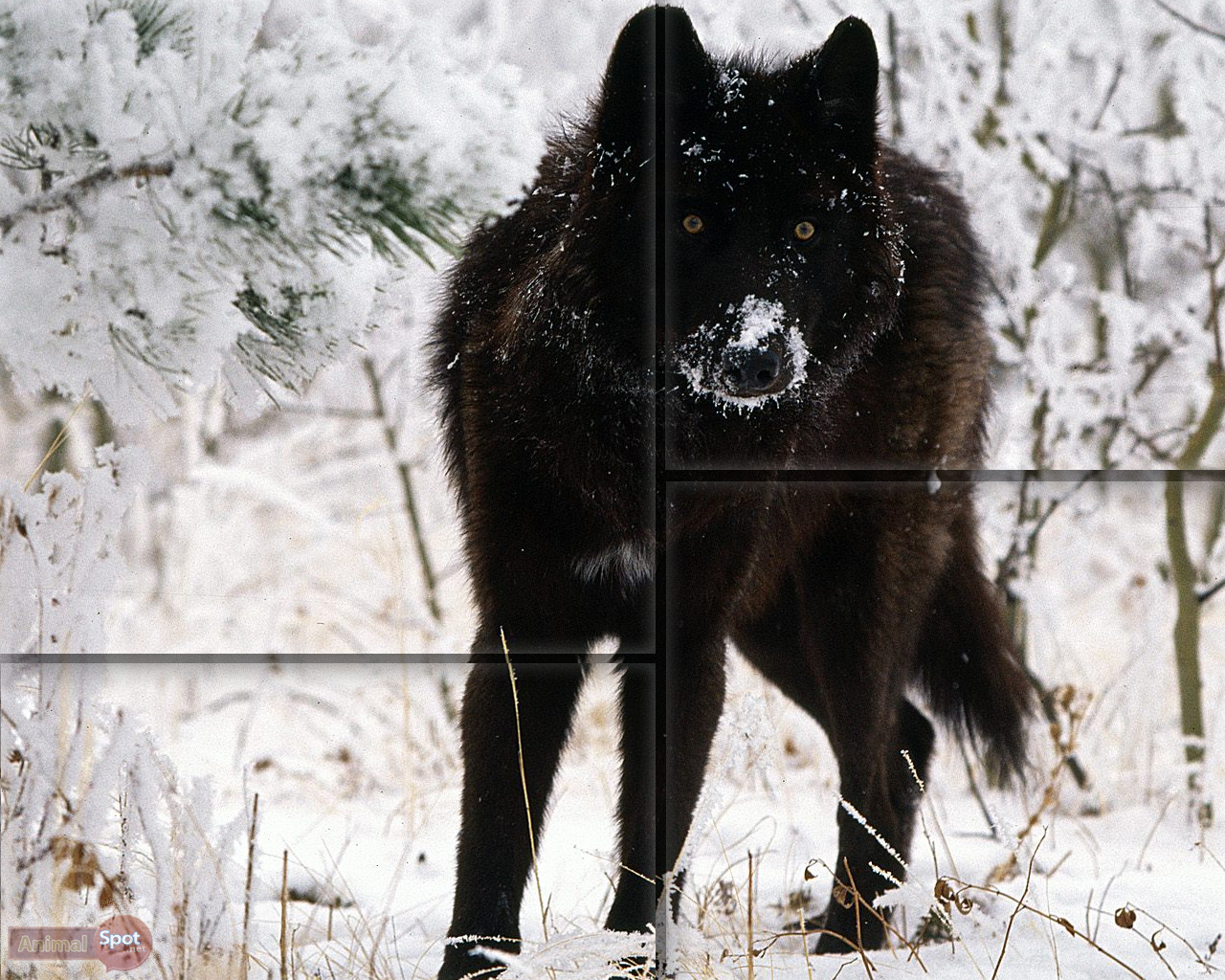 wolf wallpapers animal spot