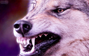 HD Desktop Wolf Wallpaper