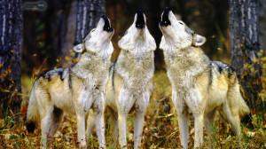 Pack of Wolves Wallpaper