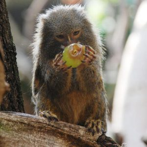 Pygmy Marmoset Eating