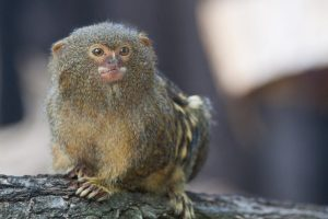 Pygmy Marmoset Monkey