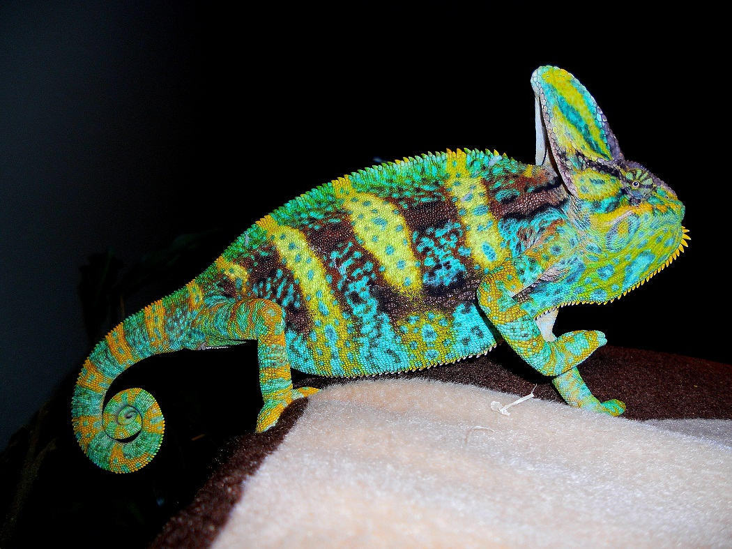 veiled chameleon facts habitat diet baby pet care pictures. Black Bedroom Furniture Sets. Home Design Ideas