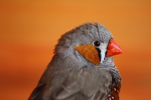 Male Zebra Finch