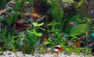 Neon Tetra Fish Facts Care Disease Breeding Tank Mates #1: Neon Tetra Tank 300x181