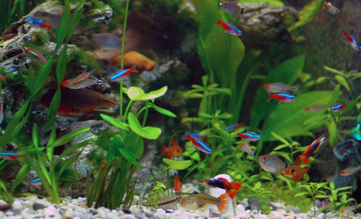Neon Tetra Fish Facts Care Disease