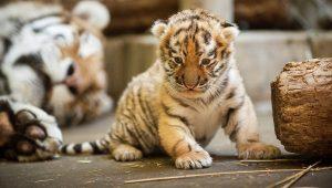Siberian Tiger Baby