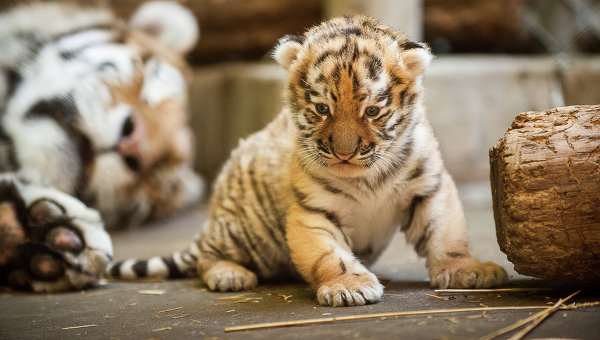 Baby siberian tiger wallpaper - photo#16