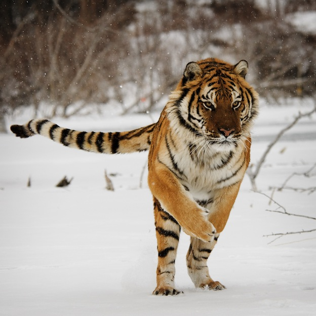 Siberian Tiger Facts For Kids – Siberian Tiger Habitat & Diet