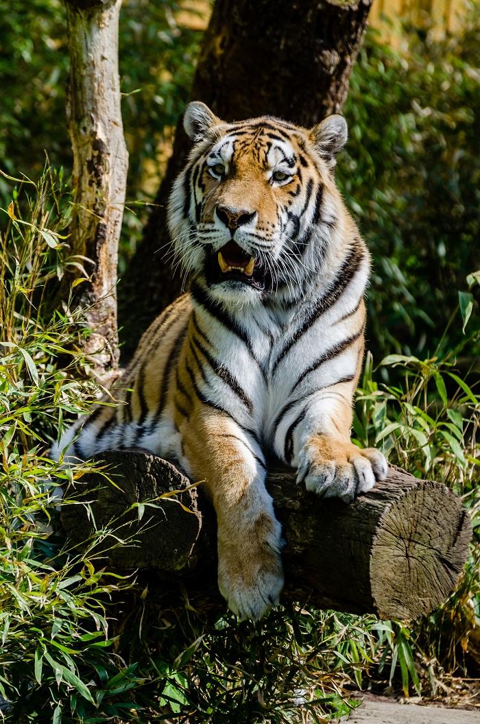 Siberian Tiger Facts Cubs Habitat Diet Adaptations