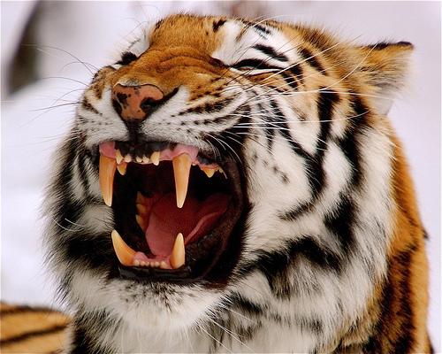 Siberian tiger facts cubs habitat diet adaptations pictures siberian tiger teeth ccuart Image collections