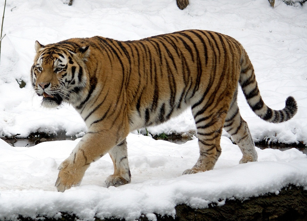 Siberian tiger facts cubs habitat diet adaptations pictures siberian tiger ccuart