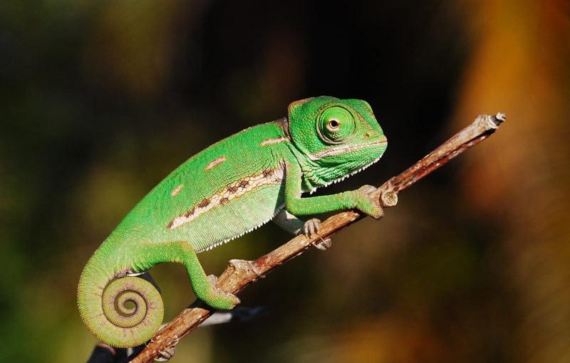 Veiled Chameleon Facts Habitat Diet Baby Pet Care