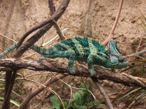 Veiled Chameleon Images