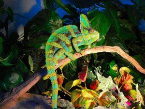 Veiled Chameleon Photos