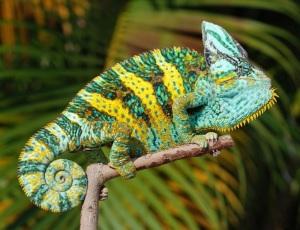 Veiled Chameleon Pictures