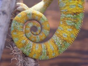 Veiled Chameleon Tail