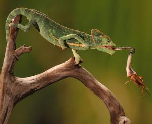 Veiled Chameleon Tongue