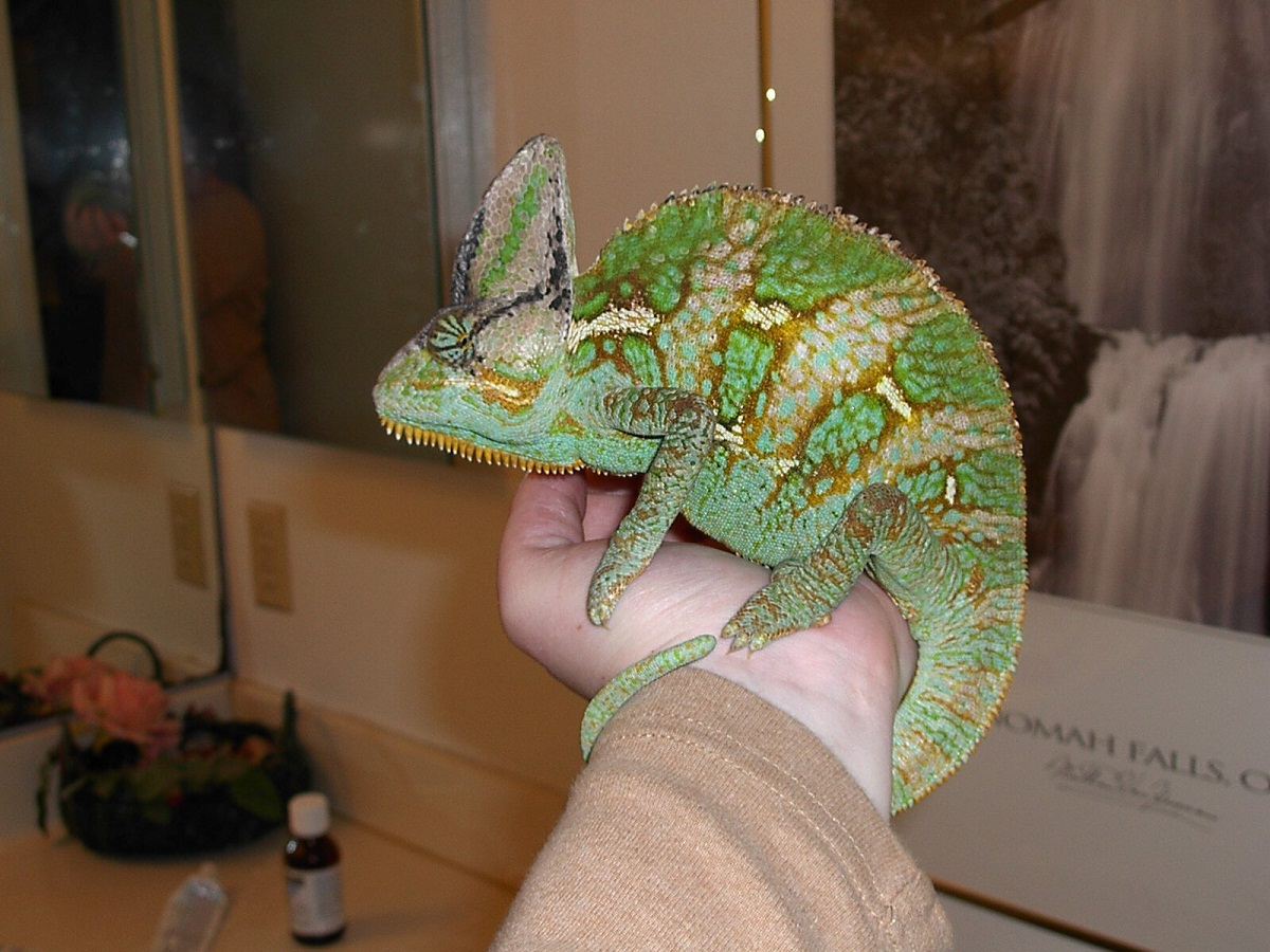Veiled Chameleon Facts, Habitat, Diet, Baby, Pet Care, Pictures
