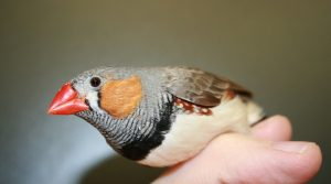 Zebra Finch Beak