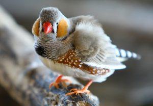 Zebra Finch Bird