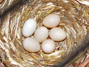 Zebra Finch Eggs