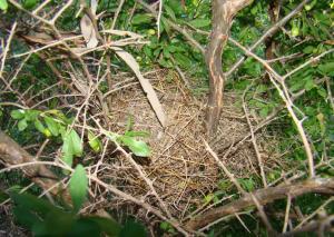Zebra Finch Nest