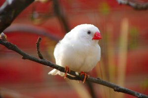 Zebra Finch White