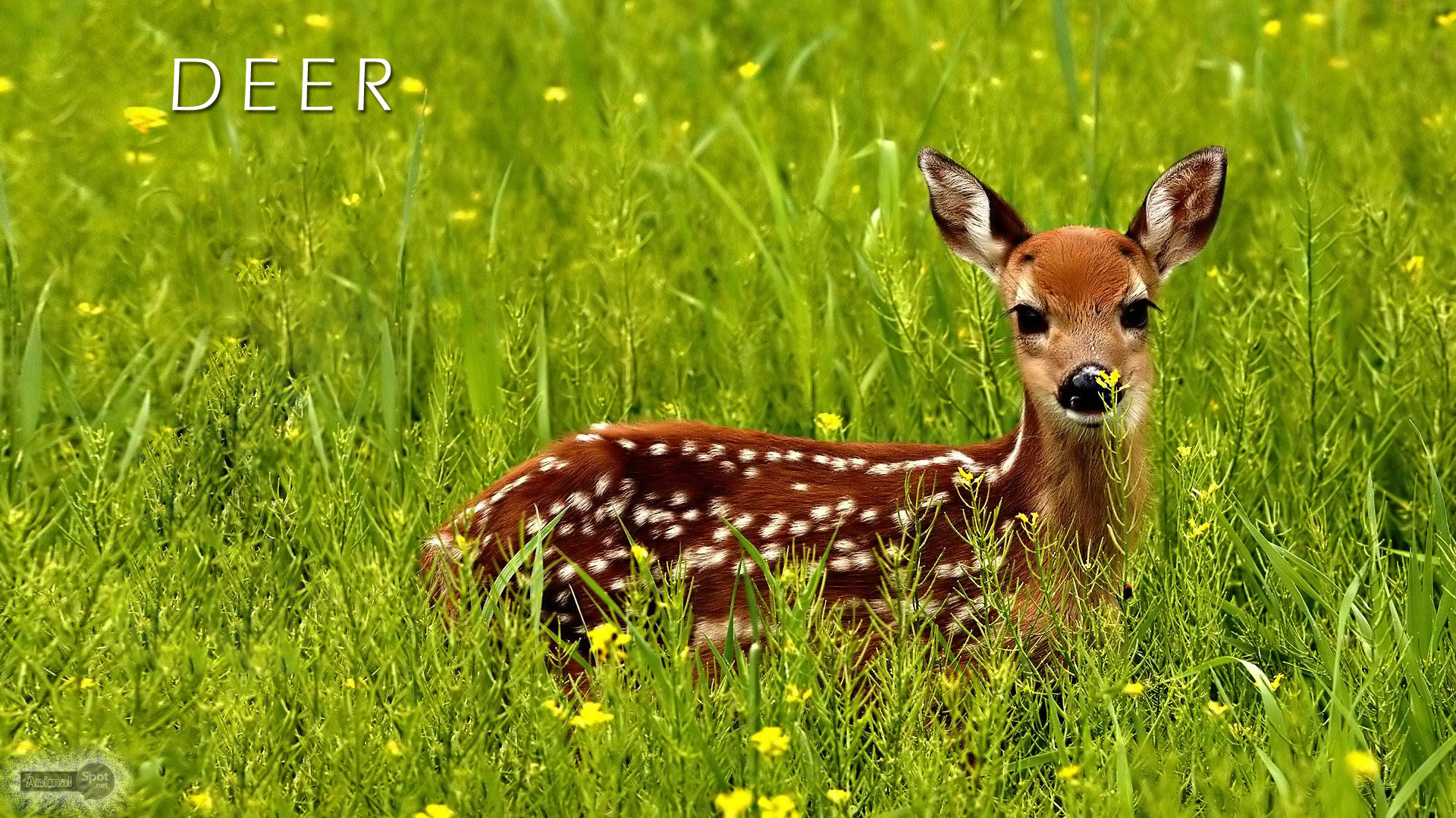 Deer Wallpaper 43 Wallpapers Hd Wallpapers HD Wallpapers Download Free Images Wallpaper [1000image.com]