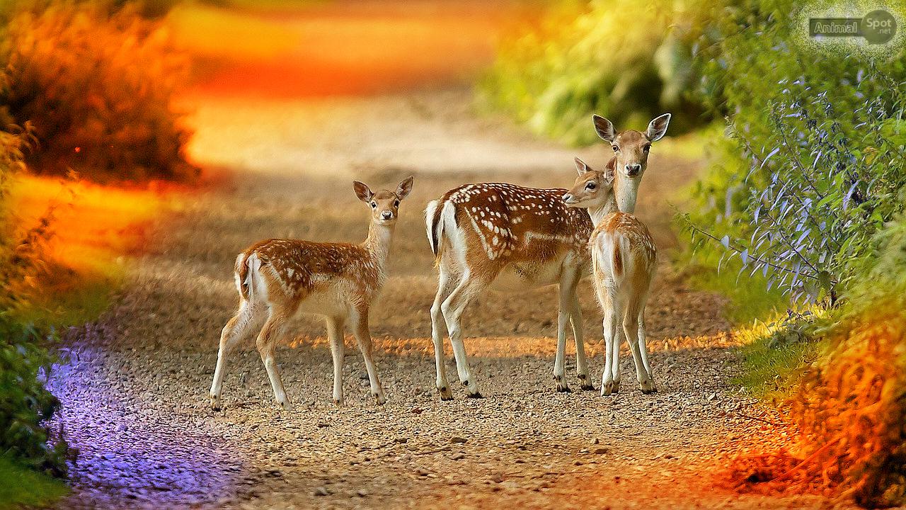 deer wallpapers � animal spot