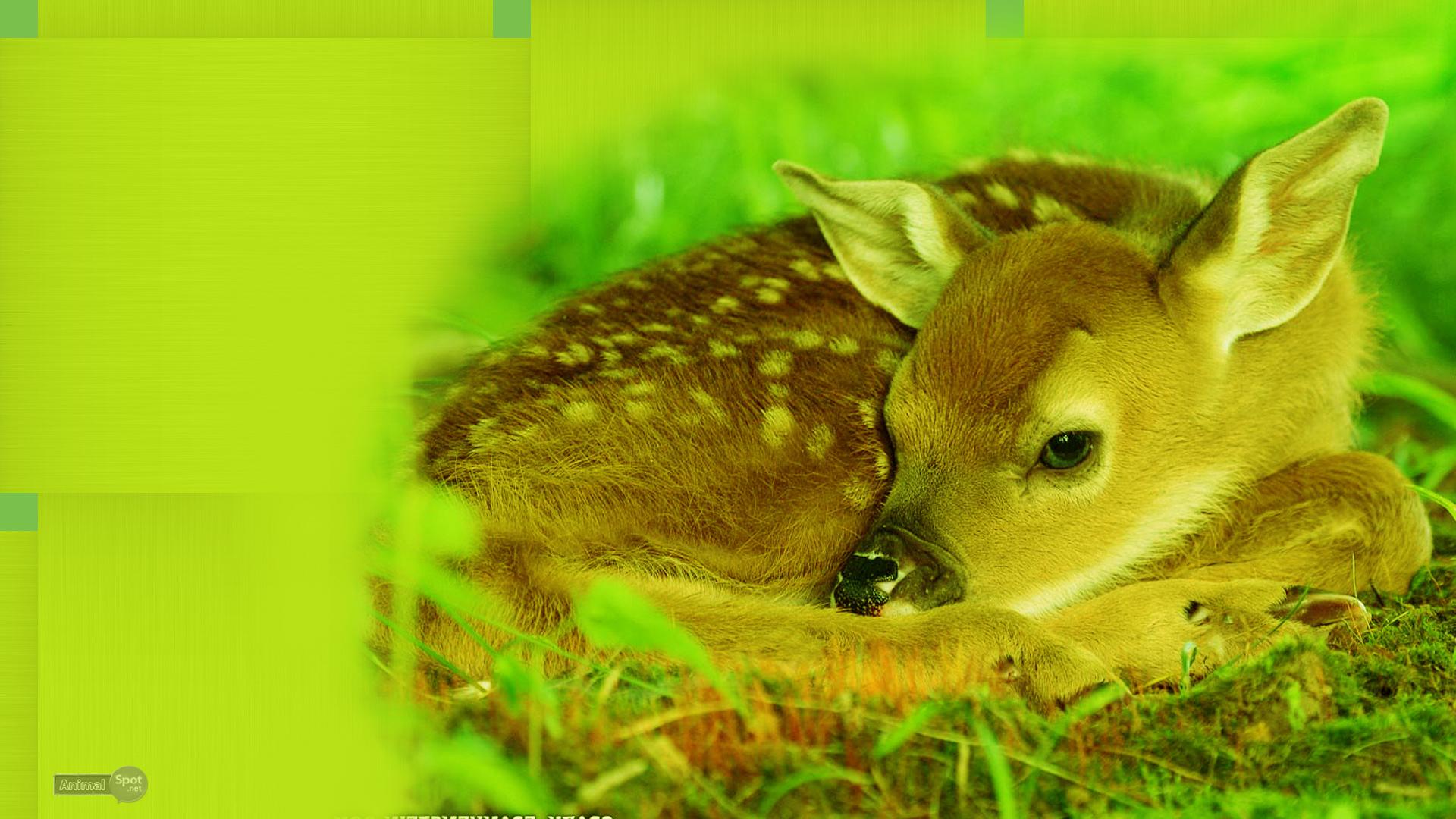 Deer Wallpaper images on o