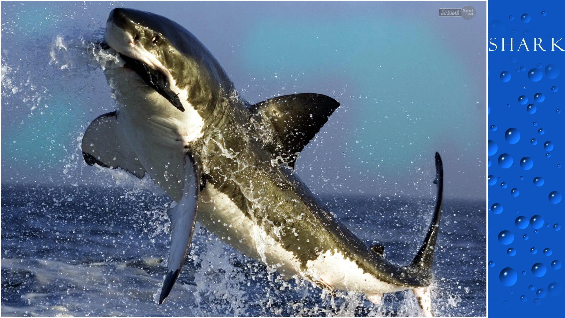 Shark Wallpapers Animal Spot