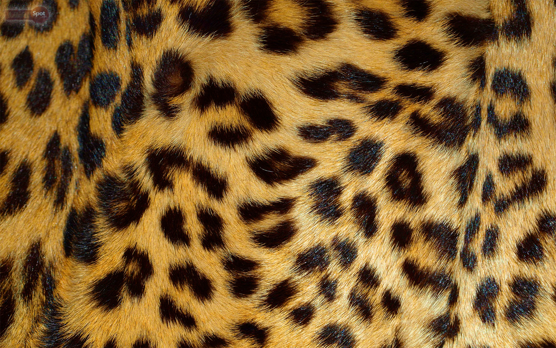 leopard wallpapers animal spot