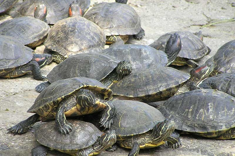 Red Eared Slider Turtle Facts Habitat Diet Pet Care