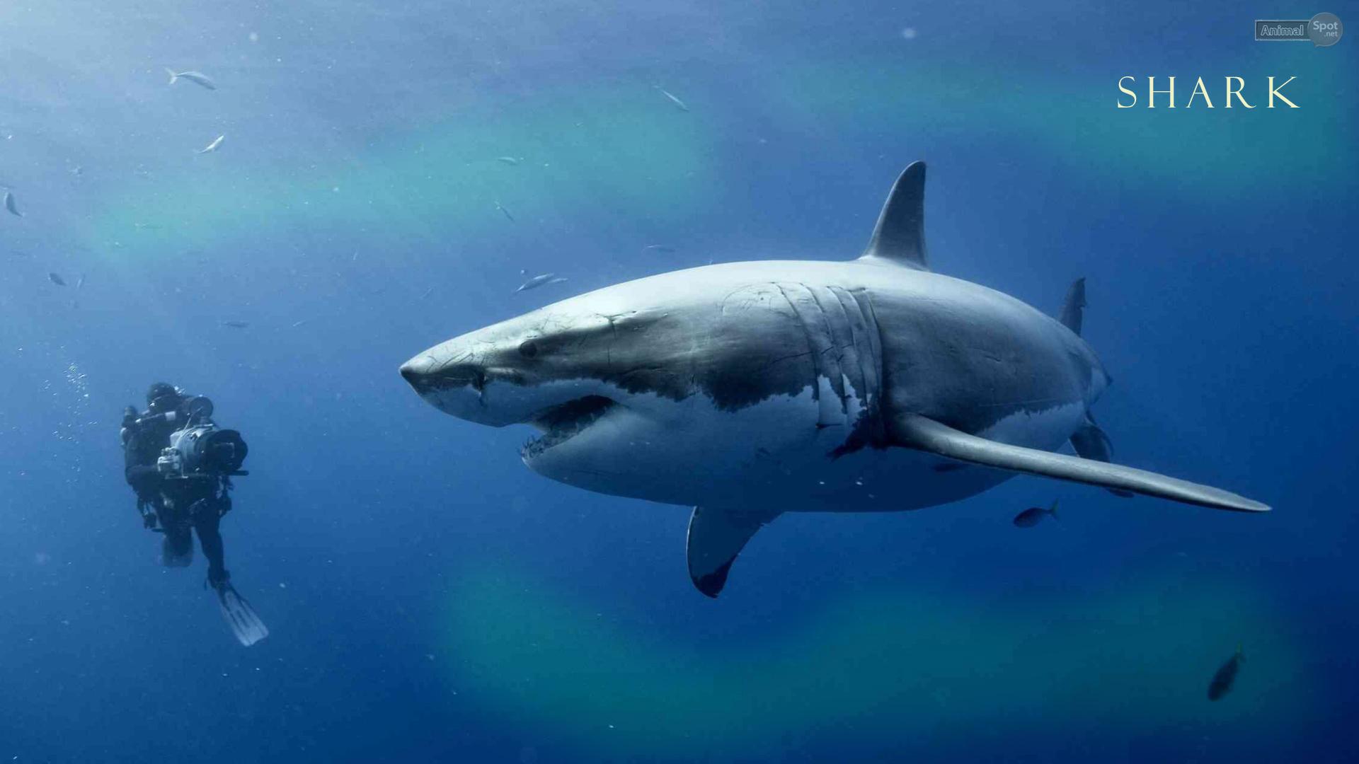 Shark Wallpapers - Animal Spot