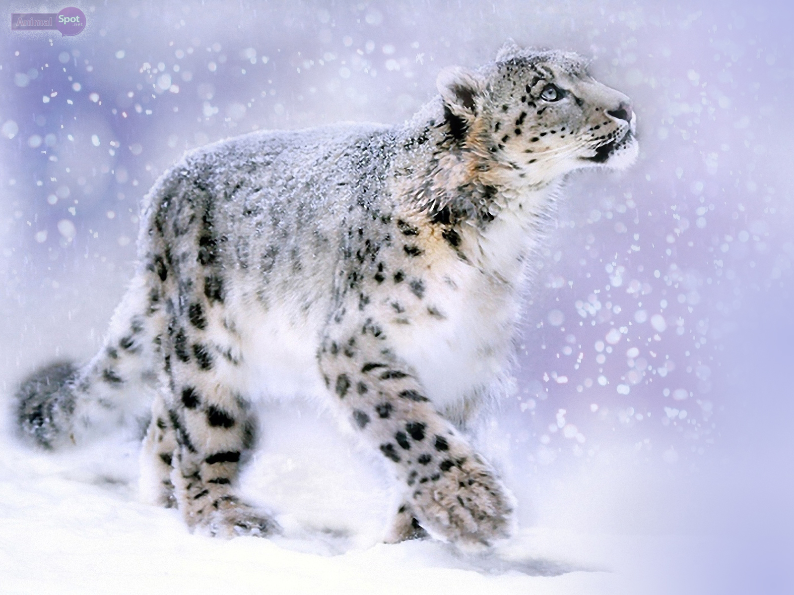 pics photos snow leopard print wallpaper
