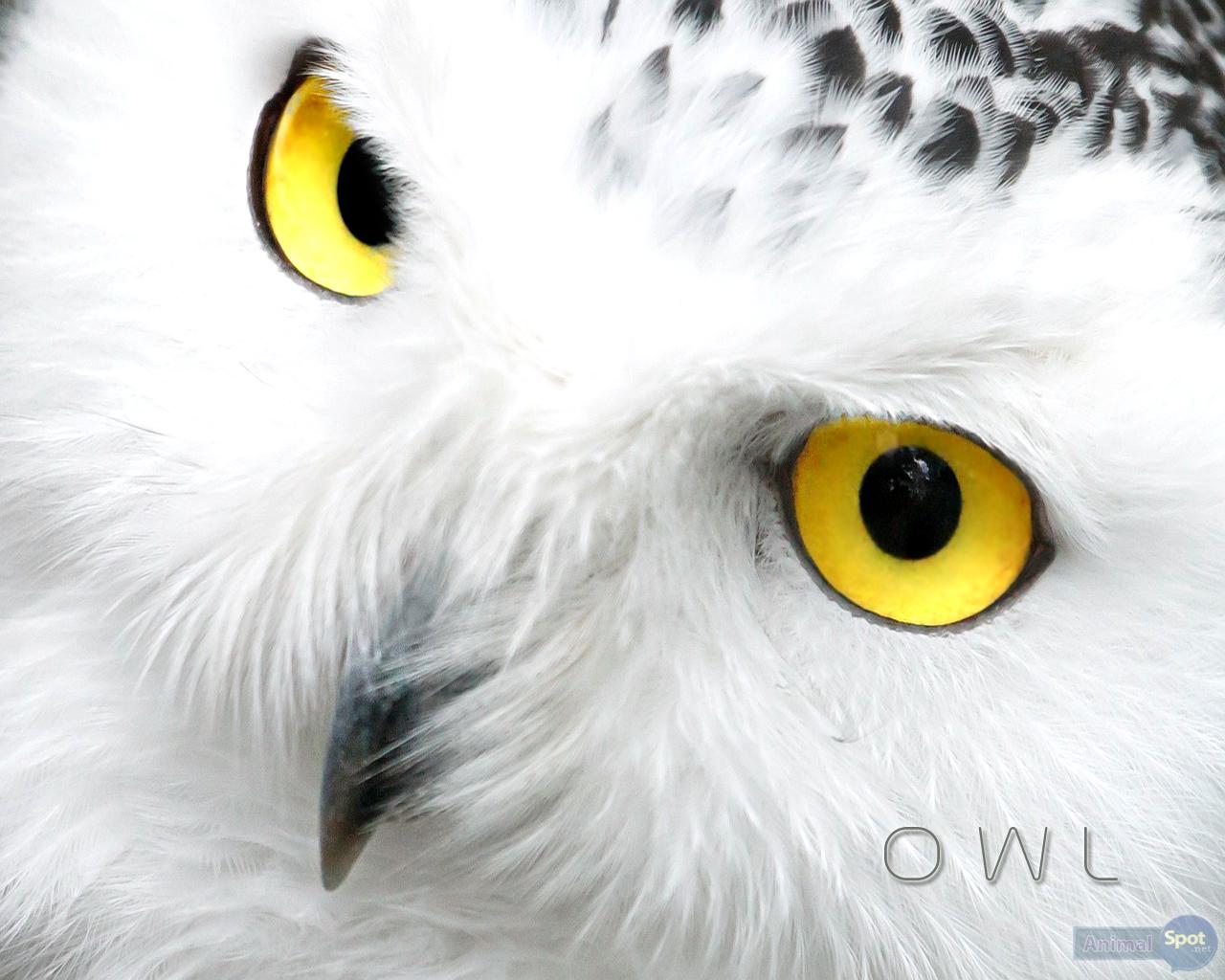 Owl Wallpapers Animal Spot