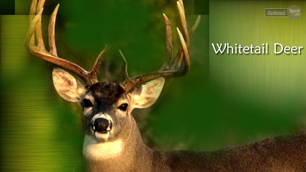 whitetail deer wallpaper bing images