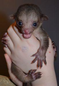 Baby Kinkajou