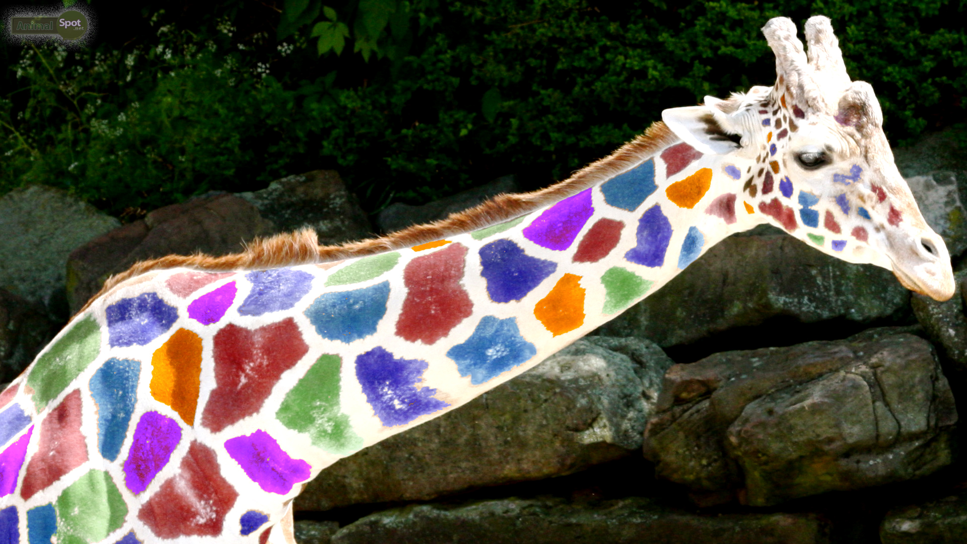 Most Inspiring Wallpaper Colorful Giraffe - Cute-Giraffe-Wallpaper  Pic_339962 .jpg
