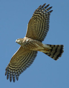 Flying Sharp Shinned Hawk