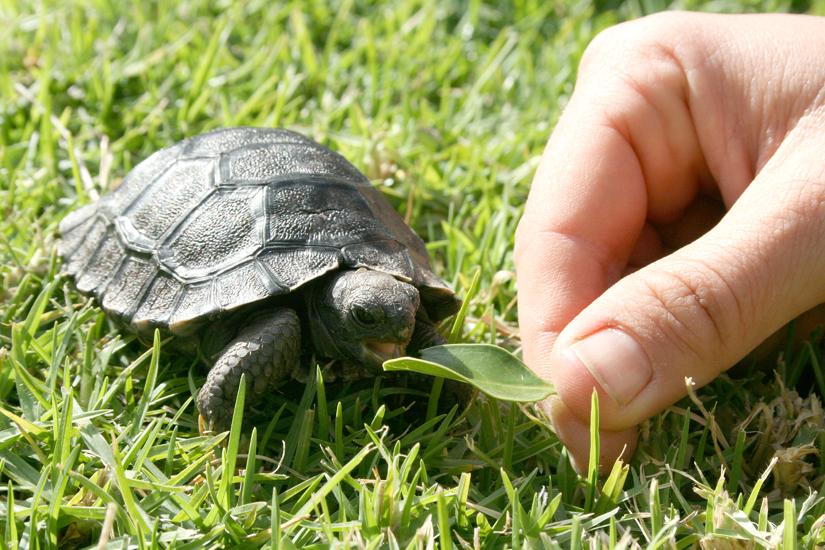 Galapagos Tortoises Habitat Galapagos Tortoise Baby