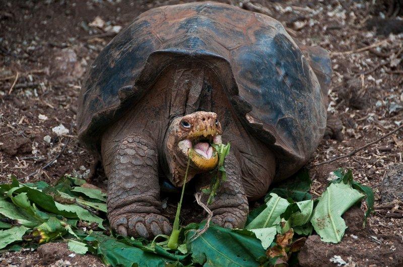 Galapagos Tortoises Habitat Galapagos Tortoise Eating