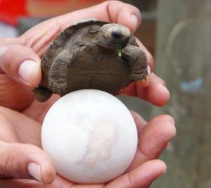 Galapagos Tortoise Egg