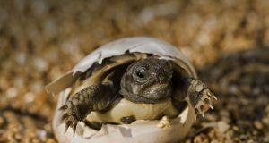 Galapagos Tortoise Eggs Hatching