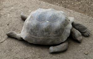 Galapagos Tortoise Legs