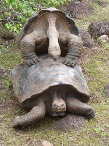Galapagos Tortoise Mating