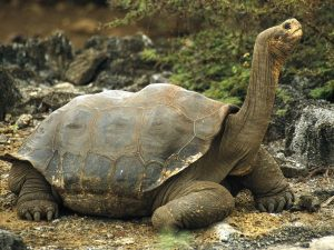 Galapagos Tortoise Pictures