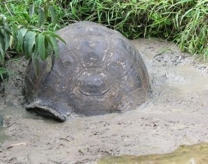 Galapagos Tortoise Shell