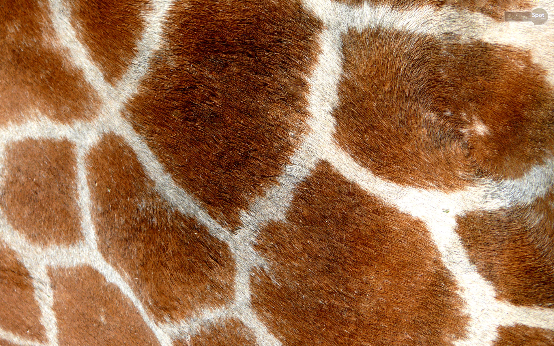 Giraffe Wallpapers Animal Spot